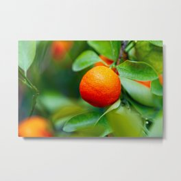 Orange Tangerine Or Mandarin Fruits On The Tree Metal Print