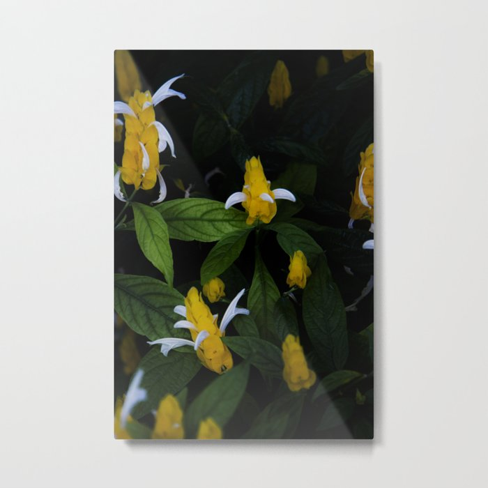Golden shrimp plant. Flowers. Metal Print