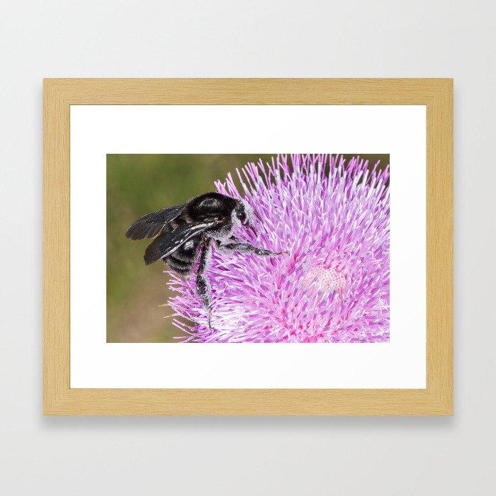 Bumblebee on Thistle Flower 02 Framed Art Print