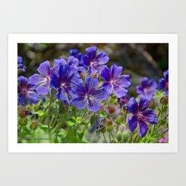 GERANIUM SUPERBUM BLUE FLOWERS IN JUNE Art Print