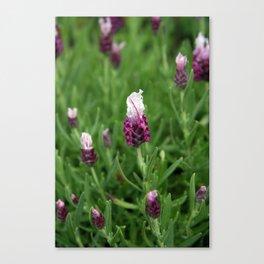 Wild lavender 1015 Canvas Print