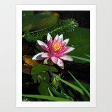Little Water Lily  Art Print