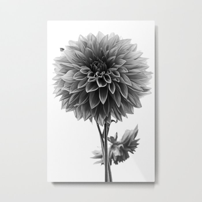 Dahlia - Monochrome Metal Print