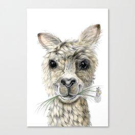 Alpaca eating Daisies Canvas Print