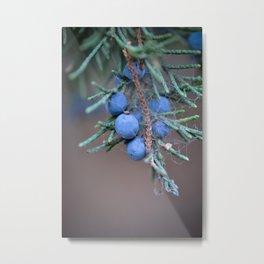 Macro Photography Blue Juniper Berries Metal Print