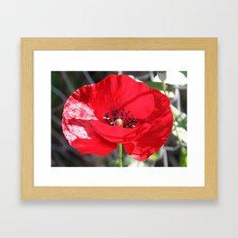 Single Red Poppy Flower  Framed Art Print