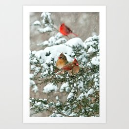 After the Snow Storm: Three Cardinals Art Print