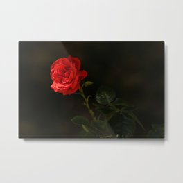 The wild red rose Metal Print