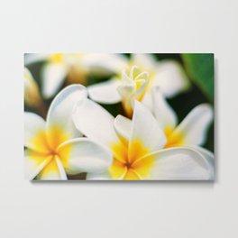 Plumeria Bloom Metal Print