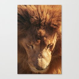 Lion from Above Canvas Print