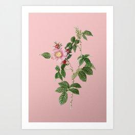 Vintage Big Flowered Dog Rose Botanical Illustration on Pink Art Print