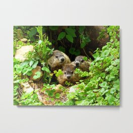 Cuteness Overload Featuring Three Young Groundhogs Metal Print