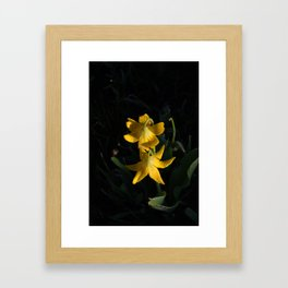 Dew drops on Yellow Glacier Lilies in Glacier National Park Montana Early Morning Framed Art Print