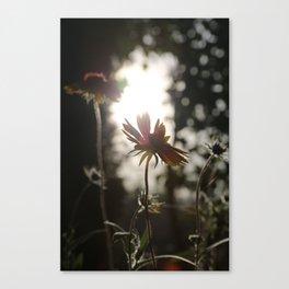 Daisy at sundown Canvas Print