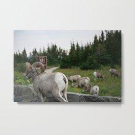 Bighorn sheep in Glacier Metal Print