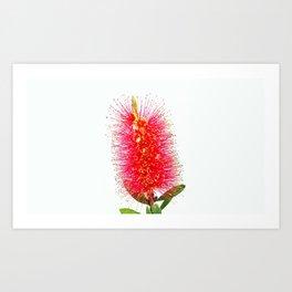 Australian Bottlebrush Art Print
