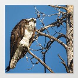 Osprey Doing A Head Dance Canvas Print