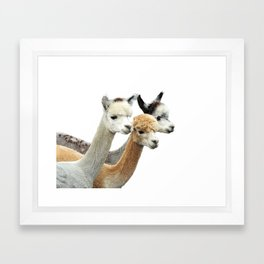 Alpaca Trio Framed Art Print