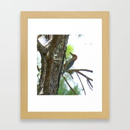 Red-bellied Woodpecker Close-up Framed Art Print