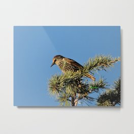 O My Starling, Clementine! Metal Print