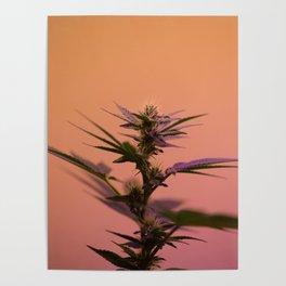 Macro cannabis kush photo Poster