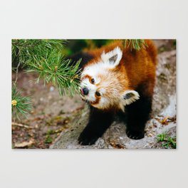 Little Red Panda Canvas Print