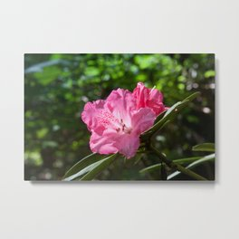 Pink Azalea in the sunshine Metal Print