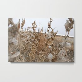 and the cotton is high.  Metal Print