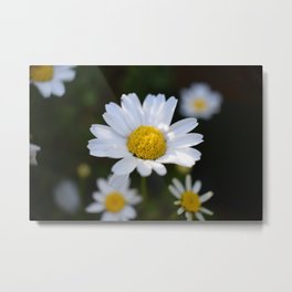 White Daisy Flowers - close up (macro) Metal Print