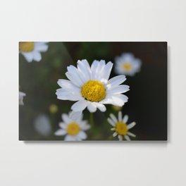 White Daisy Flowers - close up (macro) Metal Print