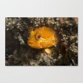Yellowfin Fringehead Canvas Print