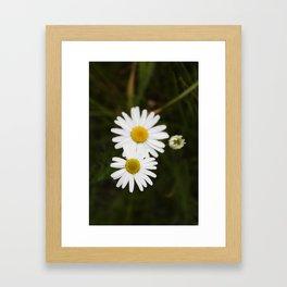 Three Daisies Framed Art Print