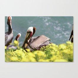 California Brown Pelican Canvas Print