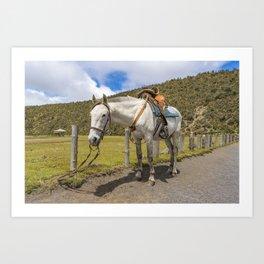 White Horse Tied Up at Cotopaxi National Park Ecuador Art Print
