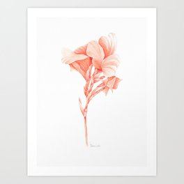 Canna Lily - Cantaloupe Colour Art Print