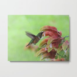 Hummingbird in Justicia Metal Print