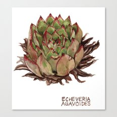 Echeveria Agavoides Canvas Print