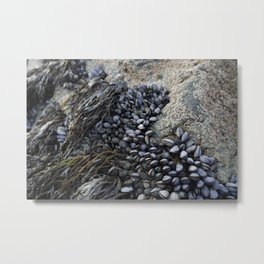 Mussel Bed on Ocean Weathered Rocks Metal Print