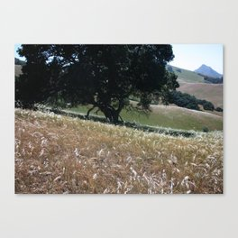 California Live Oak Canvas Print
