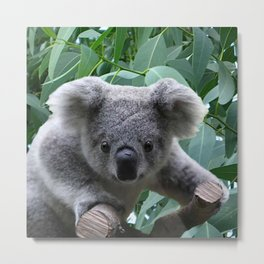 Koala and Eucalyptus Metal Print