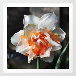 Orange and white Dafodil Art Print