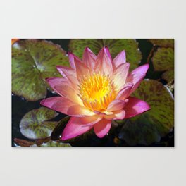 Lovely Pink Water Lily Canvas Print