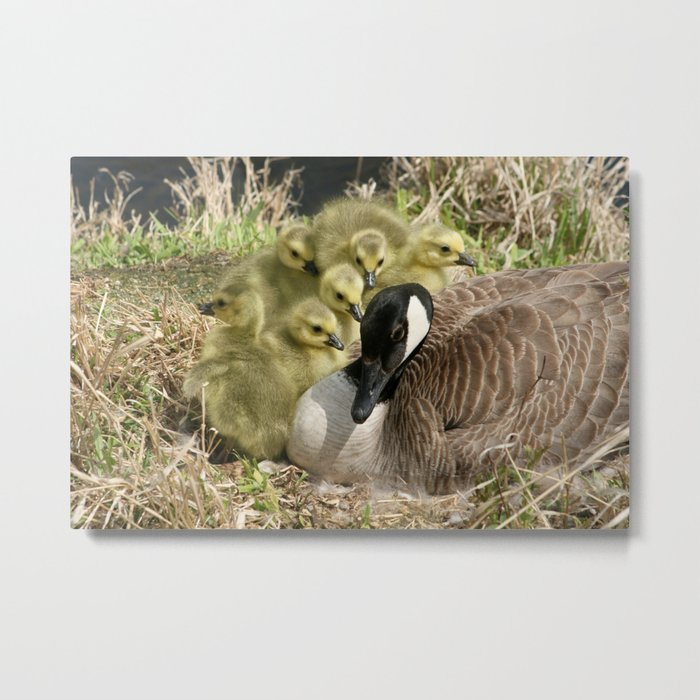 Canada Goose and Six Goslings Metal Print