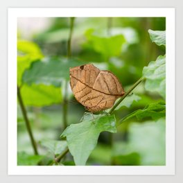 Orange oakleaf, Indian oakleaf or dead leaf, is a nymphalid butterfly Art Print