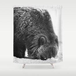 Alaskan Grizzly Bear in Snow, B & W - 2 Shower Curtain