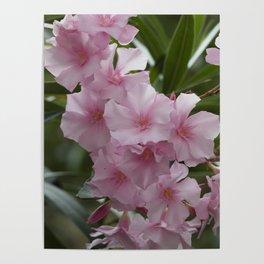 pink oleander Poster
