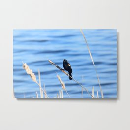 Red Winged Blackbird on Cattail Metal Print