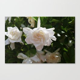 Florida Gardenia Canvas Print