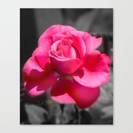 Ginnie's Pink Rose Canvas Print