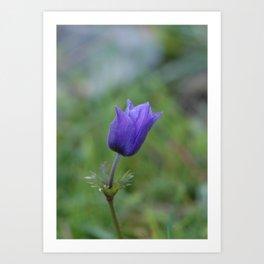 Lone Blue-Purple Anemone Art Print